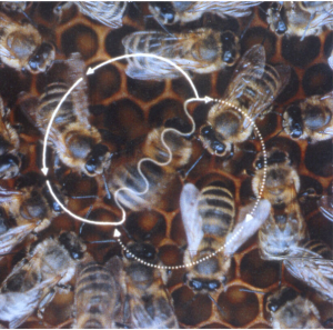 "Bees communicating via ""waggle dance"" (from <a href=""http://journals.plos.org/plosbiology/article?id=10.1371/journal.pbio.0020216"">Chittka, Lars. ""Dances as Windows into Insect Perception."" PLoS Biology 2, no. 7 (July 2004), e216.</a>)"
