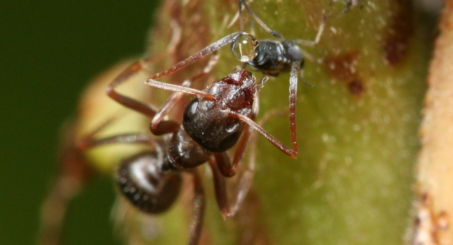 "Ant ""milking"" honeydew from an aphid, which some species ""farm,"" nurturing their young and protecting them from predators (Photo credit: <a href=""http://commons.wikimedia.org/wiki/File:Ant_feeding_on_honeydew.JPG"">Jmalik</a>, used under <a href=""https://creativecommons.org/licenses/by-sa/3.0/deed.en"">CC BY-SA 3.0</a> / cropped from original)"