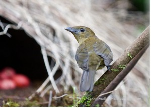 "Bowerbird in front of his nest (credit: <a href=""http://thewildernessalternative.com/2012/12/09/the-constant-gardener-vogelkop-bowerbird/"">The Wilderness Alternative</a> )"