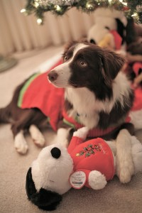 Border collies have been shown to learn the names of new toys via exclusion (Photo credit: Trevis Rothwell, used under CC BY-NC-ND 2.0