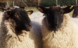 Can you tell these sheep apart? Another sheep could. (Photo credit: Amanda Slater, used under CC BY-SA 2.0 / cropped from original)