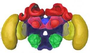 Illustration of a honeybee's brain (Image courtesy Dr. Martin Giurfa)