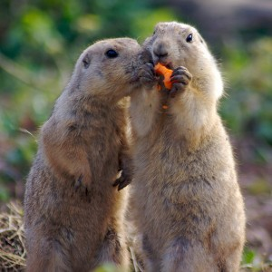 Prairie dogs (Photo credit: Rachel Andrew, used under CC BY-NC 2.0)