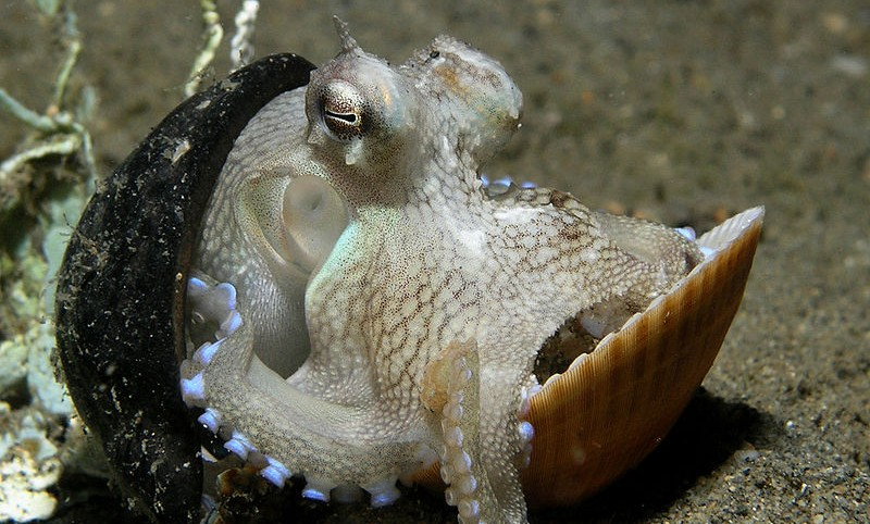 "Octopus using nut and seashell for shelter (Photo credit: <a href=""https://commons.wikimedia.org/wiki/File:Octopus_shell.jpg"">Nick Hobgood</a>, used under <a href=""https://creativecommons.org/licenses/by-sa/3.0/deed.en"">CC BY-SA 3.0</a>)"