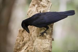 "New Caledonian crow using a stick to probe for larvae (Photo © <a href=""http://www.jolyon.co.uk/"">Jolyon Troscianko</a>)"