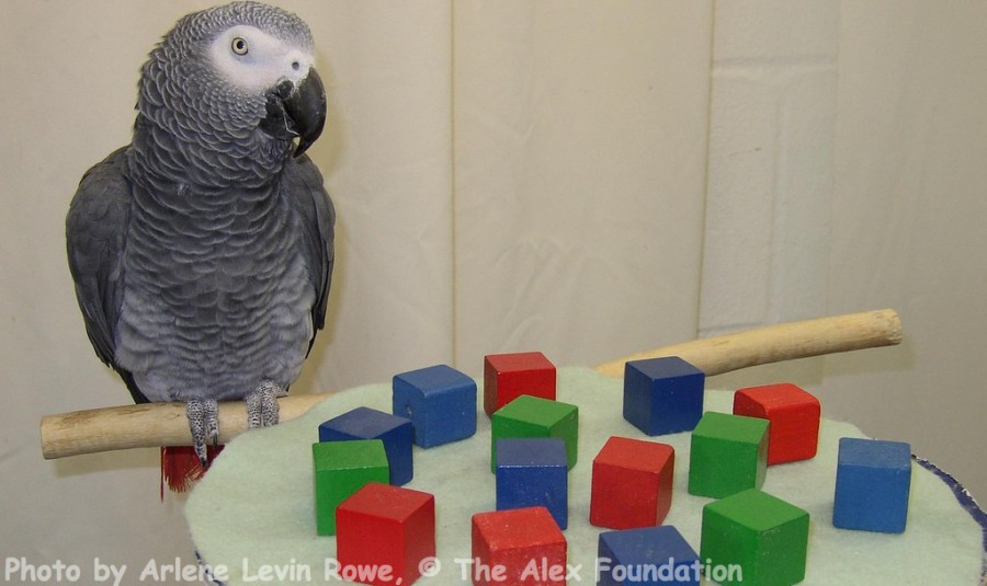 Alex (1976-2007), an African grey parrot who learned over 100 English words, could ask and answer simple questions, understand abstract concepts such as color, shape, similarity, and the number zero, and perform simple addition (Photo credit: Arlene Levin Rowe, © The Alex Foundation)