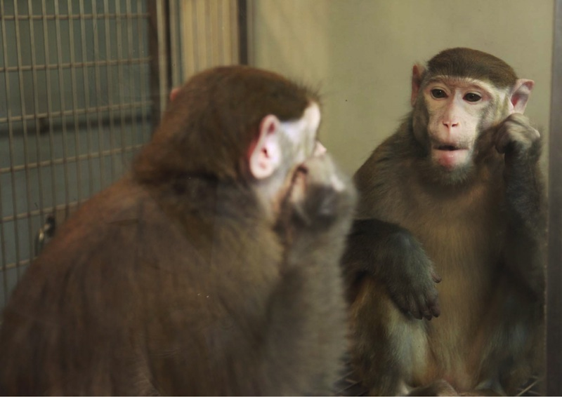 "The ability to recognize oneself in a mirror has often been cited as evidence for self-awareness. Only a few non-human animals can pass the test: great apes, elephants, dolphins, magpie birds, and most recently manta rays. Most will either react as if to another animal, or ignore the mirror entirely. Rhesus monkeys normally fail the test, but have been successfully trained to recognize themselves. Does this imply that they became self-aware through teaching, or that they always were and simply lacked the skill to interpret a mirror? Does the cognitive ability to distinguish ""self"" and ""other"" necessarily show a subjective experience of consciousness? Do animals that fail the mirror test really lack self-awareness, and if so, does this necessarily mean they aren't conscious at all? (Photo courtesy Dr. Neng Gong, from <a href=""http://www.cell.com/current-biology/abstract/S0960-9822%2814%2901443-2?_returnURL=http%3A%2F%2Flinkinghub.elsevier.com%2Fretrieve%2Fpii%2FS0960982214014432%3Fshowall%3Dtrue"">Chang et al. 2015</a>)"