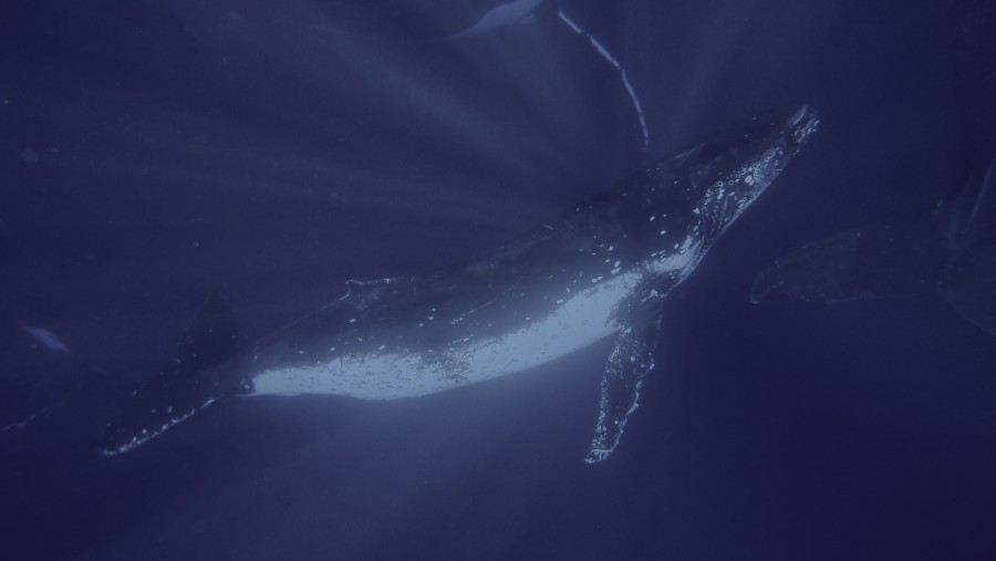 """""""The whales are the true communicators of the sea. Under the right conditions of currents, temperature, and salinity, they can sometimes send information for what would be 5,000 human miles. They speak from sea to sea. ... The whales are our wise ones. Besides being able to send sound-pictures over long, long distances, whales... know the history of all our species - they carry time in their heads... They think in whole world terms. And once each year, they sing the song of earth, telling us all of the changes that have taken place, the differences in our terrain, the new volcanoes, the abundance of various food sources, what is happening at the interface with coastlines, and so on."""" (Frill, a member of a fictional species of civilized cetacean, describing the worldview of large whales in Betty Ballantine's 'The Secret Oceans' - Image by <a href=""""https://www.flickr.com/photos/87895263@N06/16197794774/"""">Sylke Rohrlach</a>, used under <a href=""""https://creativecommons.org/licenses/by-sa/2.0/"""">CC BY-SA 2.0</a>)"""
